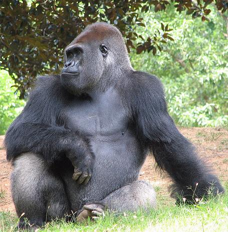 gorilla by brokinhrt2