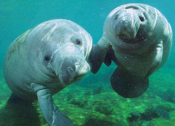 manatees by flickkerphotos
