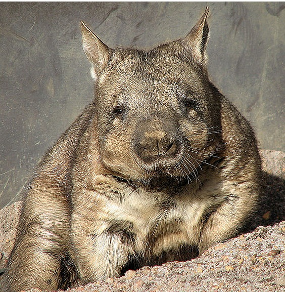 wombat by flickkerphotos